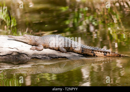 Close-up of Freshwater crocodile at Hartley's Crocodile Adventures, Captain Cook Highway, Wangetti, Queensland, Australia. - Stock Image