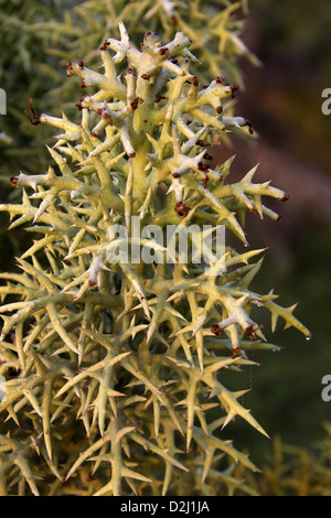 Silver Thicket, a Madagascan Spiny Forest Tree, Euphorbia stenoclada, Euphorbiaceae. Anakao, Southern Madagascar, - Stock Image