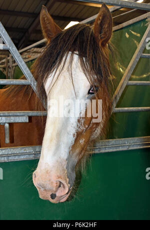 Head of Clydesdale horse in stable. Royal Highland Show 2018, Ingliston, Edinburgh, Scotland, United Kingdom, Europe. - Stock Image