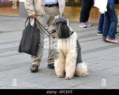 Man with a hairy dog in pedestrian street Munich Germany Europe - Stock Image