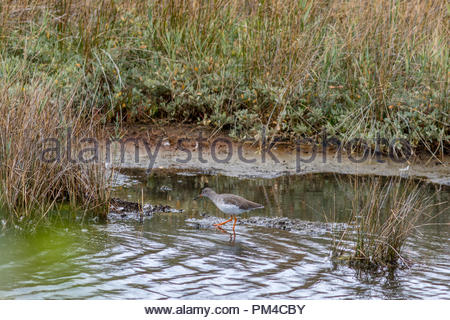 A Redshank wading in a salt marsh at Keyhaven Marshes, Hampshire, UK. - Stock Image