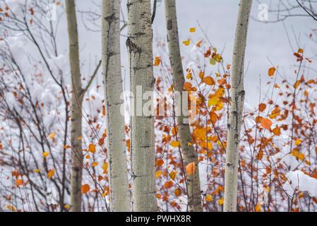 Aspen trees in Autumn, Elk Island National Park, Alberta, Canada - Stock Image