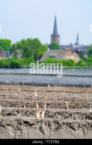 New harvest season on asparagus vegetable fields, white and purple asparagus growing uncovered on farm, countryside landscape with town church - Stock Image