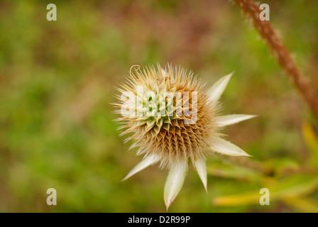 Dispsacus Fullonum - Spikey flower head of the Common Teasel, (Early Autumn). - Stock Image