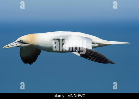 A Gannet (Morus bassanus) gliding above the cliff tops at RSPB Bempton Cliffs on the East Yorkshire coast - Stock Image