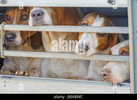 The East Lincs (Lincolnshire) Basset Hounds - The hounds in the trailer waiting to start the day - Stock Image