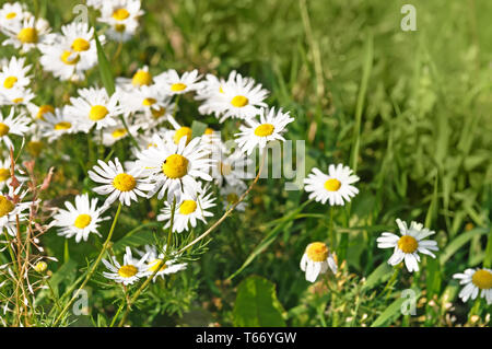 Beautiful nature scene with blooming medical chamomiles in sun day - Stock Image