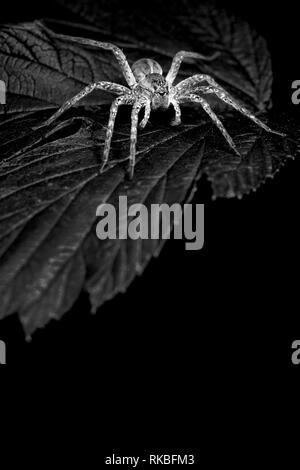 Big spider on leaf - Stock Image