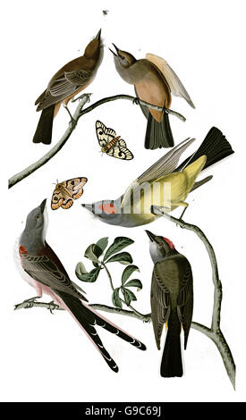 1 Western Kingbird, Tyrannus verticalis, 2 Scissor-tailed Flycatcher, Tyrannus forficatus, 3 Say s Phoebe, Sayornis - Stock Image