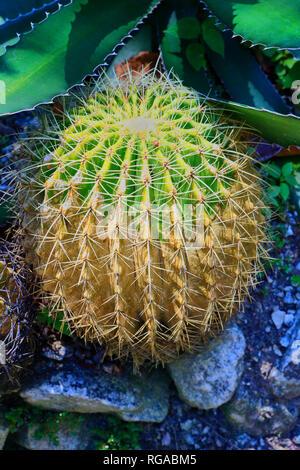 Cactus known as a Mother-in-law's Seat .Echinocactus grusonii. golden barrel cactus.Botanical Garden. Rio de Janeiro. Brazil - Stock Image