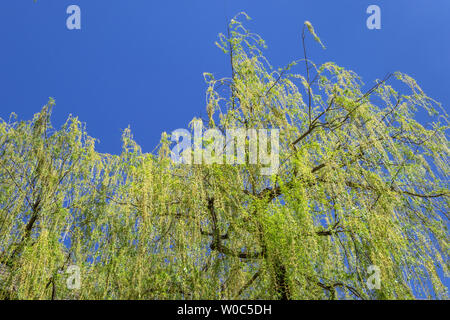 Weeping Willow in Spring. - Stock Image