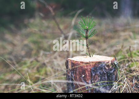 new life strenght and development concept - young pine sprout growing from tree stump - Stock Image