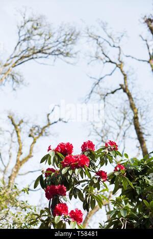 Rhododendron 'Bibiani' growing in Hendricks park in Eugene, Oregon, USA. - Stock Image