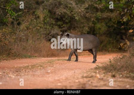 Brazilian Tapir (Tapirus terrestris) from North Pantanal. - Stock Image