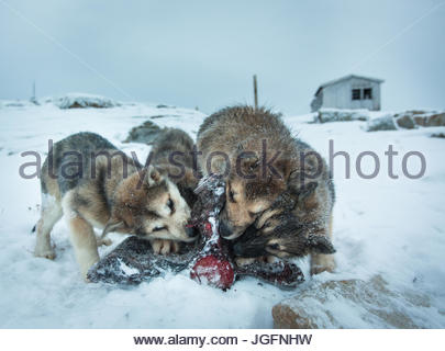 Sled dogs are fed killer whale meat in the small Inuit settlement of Isortoq in East Greenland. - Stock Image