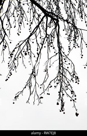 Sweet Gum Branches with Seed Pods - Stock Image
