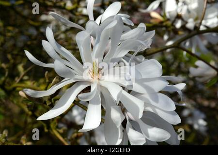 Magnolia SP flower flowers white blooms - Stock Image