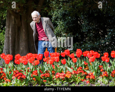 Bath, Somerset, UK, 29th March, 2019. A man enjoying the warm sunshine is pictured looking at colourful Tulips in Royal Victoria Park. Credit:  Lynchpics/Alamy Live News - Stock Image