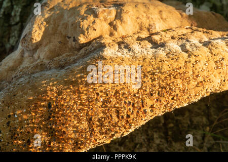 Weeping polypore, Inonotus dryadeus, early autumn morning growing on old oak tree.Showing the distinctive weeping that gives it its common name. - Stock Image