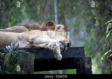 Sleeping lioness - Stock Image