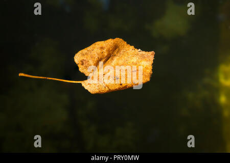 Leaf on water - Stock Image