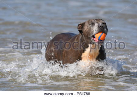 Littlehampton, UK. Wednesday 27th June 2018. Dulce takes an early morning dip in the sea on another very warm and sunny morning in Littlehampton, on the South Coast. Credit: Geoff Smith / Alamy Live News. - Stock Image
