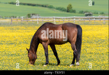 Dark Bay colour horse in field of buttercups - Stock Image