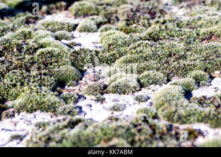 Lichen moss in close up macro in nature growing on white concrete - Stock Image