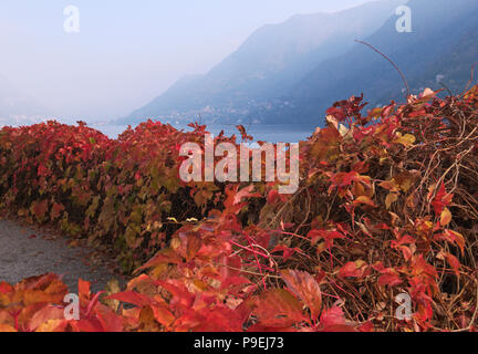 Virginia Creeper leaves in autumn, Lake Como, Italy - Stock Image