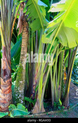 Ravenala madagascariensis . Traveller's tree. Botanical garden. Rio de Janeiro,  Brazil - Stock Image