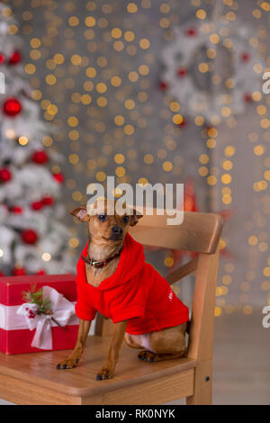 Happy New Year, Christmas, puppy dog. holidays and celebration, pet in the room the Christmas tree. Dog in Santa Claus dress - Stock Image