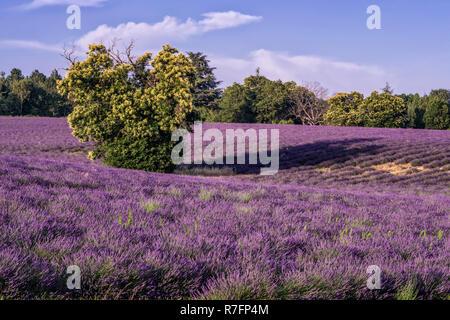 Lavender, Field, Lavandula angustifolia, Plateau de Valensole,  France, Provence-Alpes-Cote d'Azur, France - Stock Image