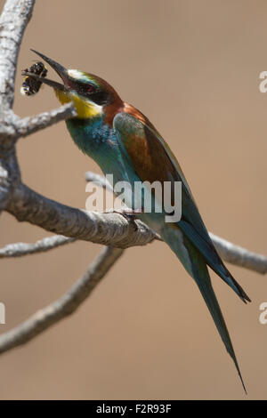 European Bee-eater tossing its prey - Stock Image