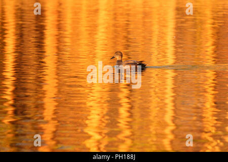 A drake gadwall on golden water. - Stock Image