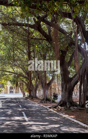 Cuba, Havana, Colon Cemetery. Banyan trees with moss line street. Credit as: Wendy Kaveney / Jaynes Gallery / DanitaDelimont.com - Stock Image