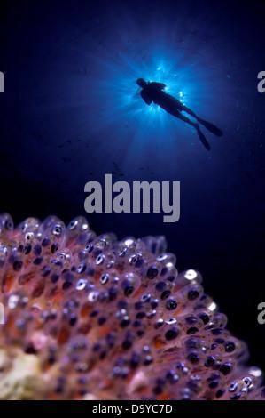 Anemonefish (Amphiprion Sp.) with scuba diver swimming underwater, Gaafu Alifu Atoll, Maldives - Stock Image