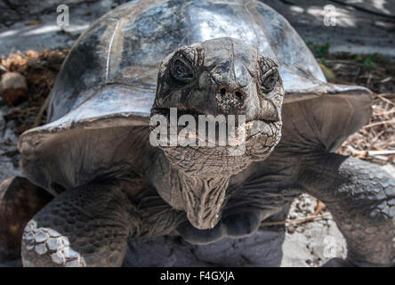 Giant Tortoise on Curieuse Island reserve, Seychelles - Stock Image