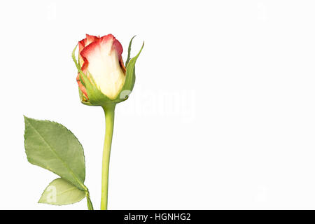 A single rose flower and stem on white background - Stock Image