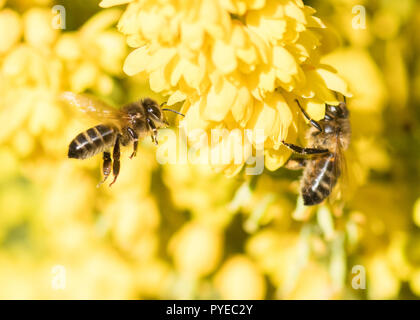 Honey bees on the yellow flowers of a winter flowering Mahonia shrub - Stock Image