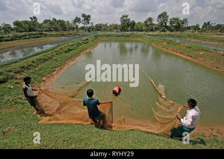 BANGLADESH Workers trawling a pond for fish at a Fish hatchery employing scientific methods at Haluaghat, Mymensingh region photo by Sean Sprague - Stock Image