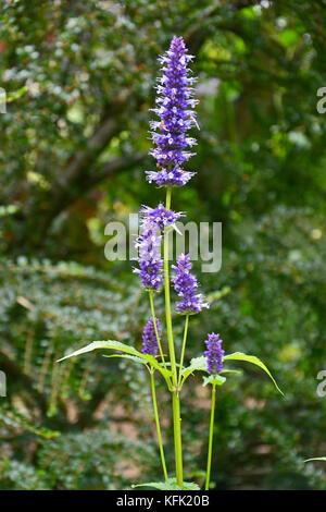 Agastache 'Black Adder' in a garden border - Stock Image
