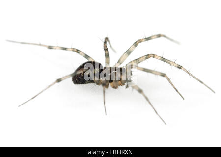 A female Common Tree-weaver (Lepthyphantes minutus) spider on a white background, part of the family Linyphiidae - Stock Image