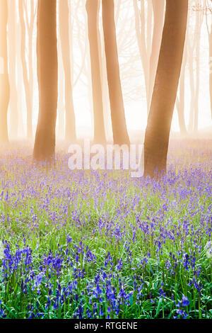Bluebell Woods at sunrise. - Stock Image