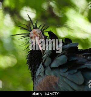 California condor (Gymnogyps californianus), captive - Stock Image