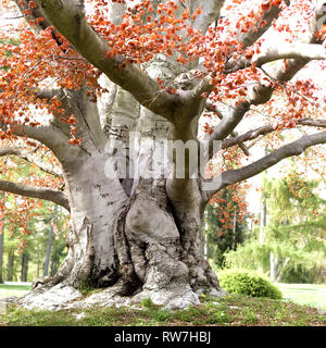 Large Trunk of Copper Beech Tree - Stock Image