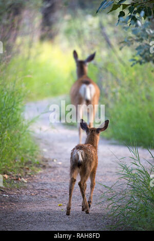 Mule Deer doe leading fawn along wildlife sanctuary path (Odocoileus hemionus) - Stock Image