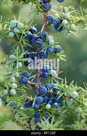 Close-Up Of Juniper Berries Growing On Tree.  Juniper branch with blue and green berries growing outside. - Stock Image