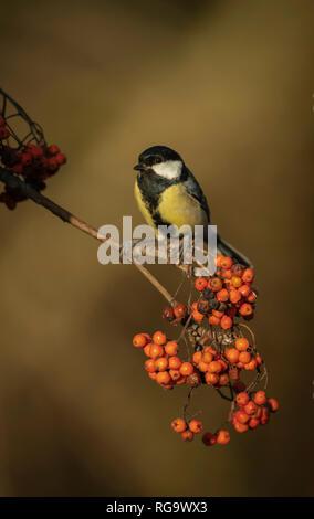 Great tit, Parus major , feeding on rowan berries, winter in Oxfordshire. - Stock Image
