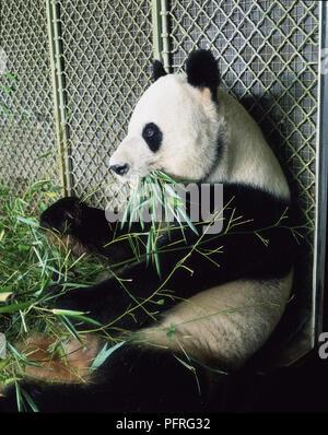 Giant Panda Eating Bamboo Shoots - Stock Image