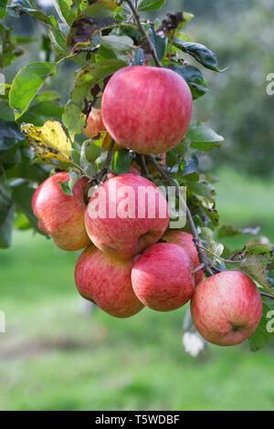 Malus domestica 'Ariwa'. Apples on a tree. - Stock Image